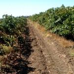 Golan Winery - Rebflächen