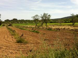 Mallorca Weingarten
