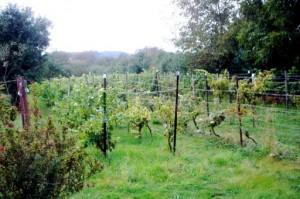 Rebgarten des Weinguts Balzereit/Börner in Könnern